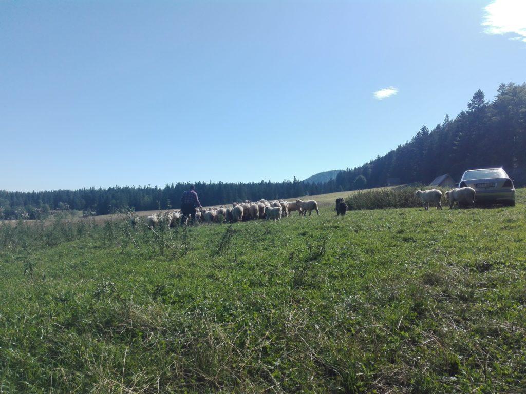 Hirte mit Schafherde in Zakopnae dem Zielort der Radreise nach Polen